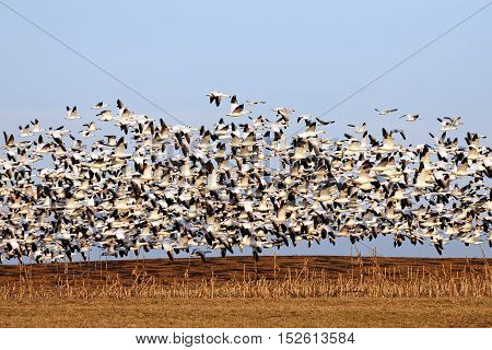 Thousands of migrating Snow Geese ( Chen caerulescens ) fly over a field after a layover in Lancaster County Pennsylvania USA.