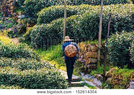 Chinese tea farmer walking up a path in Longjing tea fields