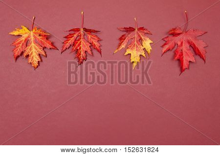 Autumn colorful fallen maple leaves in a row on claret background with copy space