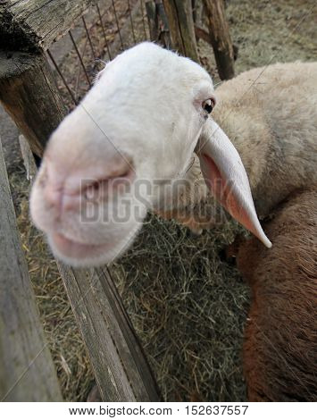 Close Muzzle Of A Sheep Photographed With Fisheye Lens