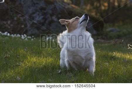 a white welsh corgi begging for a treat