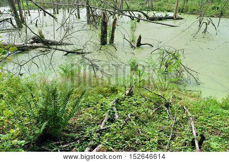 Green Swamp covered with duckweed in the depths of the forest and the trees standing in water.