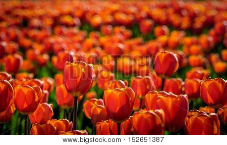 Red blooming tulips in early morning sunlight growing in the field of a specialized Dutch tulip bulbs grower. It is a sunny day in the early spring season.