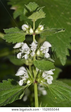 Musk Dead-nettle - Lamium moschatum micranthum Subspecies found in Cyprus & Middle East