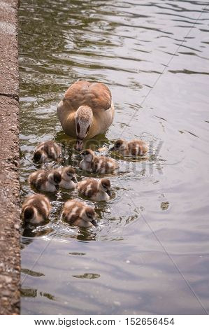 Close up of goose family. Baby gooses at the lake