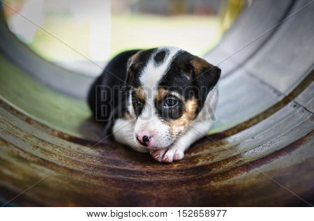 seated beagle puppy dog plays in park