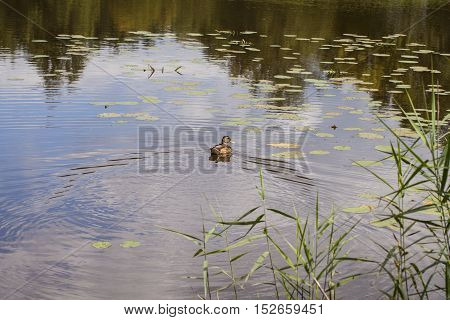wild duck swims in the pond, wild nature