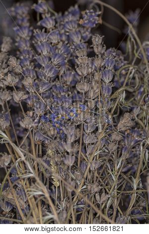 Bush With Dried Lavender