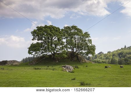Outcrop with oak trees, The Lake District, Cumbria, England
