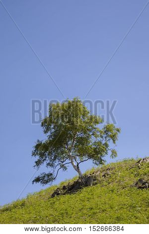 Silver Birch tree background with space for copy