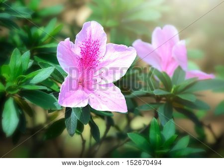 Azalea bloom in the garden, the flower of love silently burning