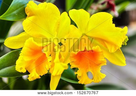 Yellow cattleya flowers bloom in garden with large petals bloom as a maid to dress bat and lips ripe spring