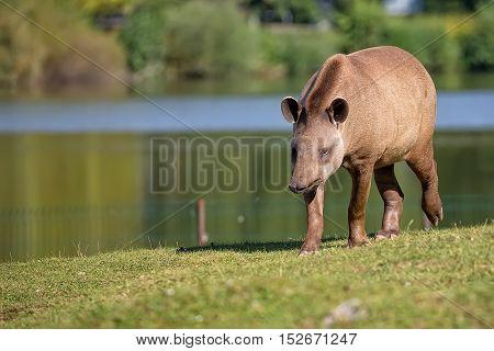 Tapir on the run in a clearing