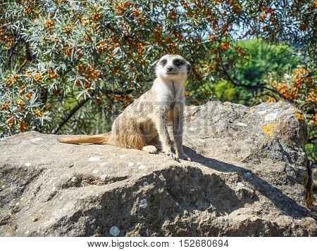 Suricate on the rock sitting and watching