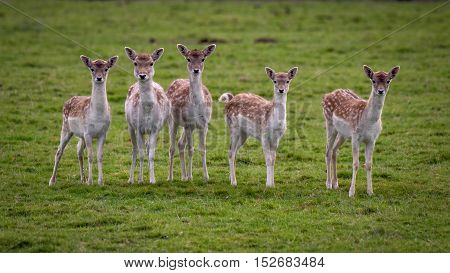 A group of five 5 young inquisitive fallow deer doe staring forward towards the camera