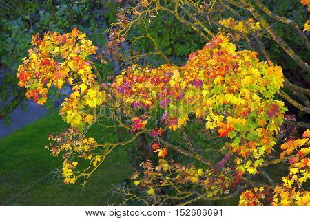 Maple tree in flaming autumn colours in city park.