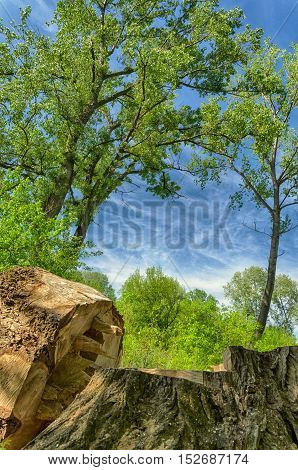 felled tree. tree felling. trunk. deep blue sky and forest green. summer season landscape.