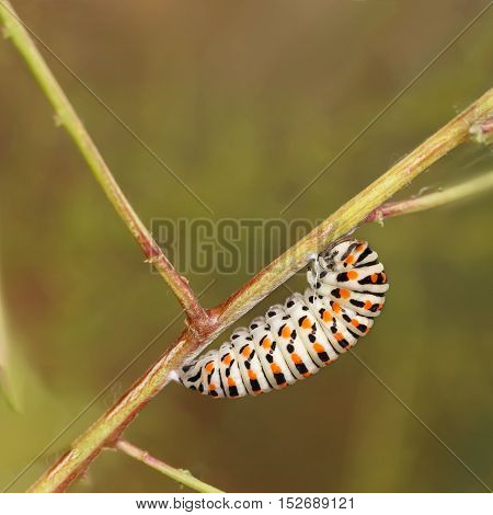Catterpillar of Papilio machaon nearing its final days as a caterpillar. square composition