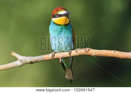 Merops apiaster sitting on a dry branch on a green background, bird of paradise, colorful birds