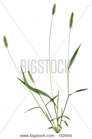Whole Grass Plant