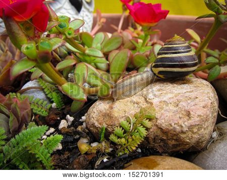 Freshwater garden snail slug slowly crawls on the rock closeup