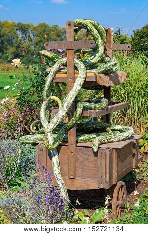 Fall decoration at the farm: old cart entwined with odd green squashes