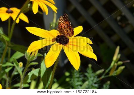 Flowering black-eyed Susan with a butterfly sitting on it.