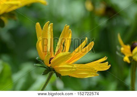 Yellow blooming black-eyed Susan flower blossom flowering
