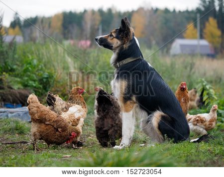 Big dog guards the village chickens. Green grass, village