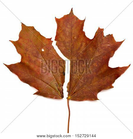 Brown maple leaf isolated on white background