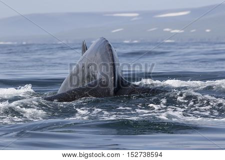 Humpback Whale before diving into the water on the background of the shore