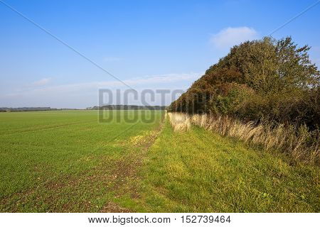 Tall Hedgerow And Wheat