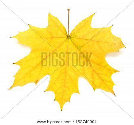 Yellow leaf isolated on white background. Flat. Autumn.