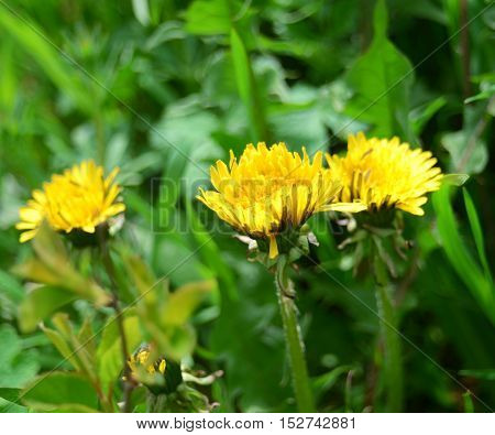Yellow dandelions in the green grass. Flower.