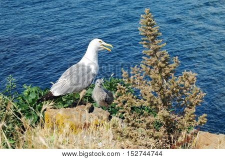 Adult seagull with the little chick in the grass on the stones of the background sea.