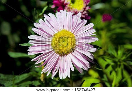 Alpine Aster ( Aster Korzhinsky ) in the state of promiscuity .