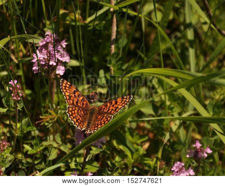 The Nymphalinae are a subfamily of brush-footed butterflies