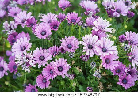 Purple African Daisy ( Osteospermum Ecklonis ) with Green Leaf Background