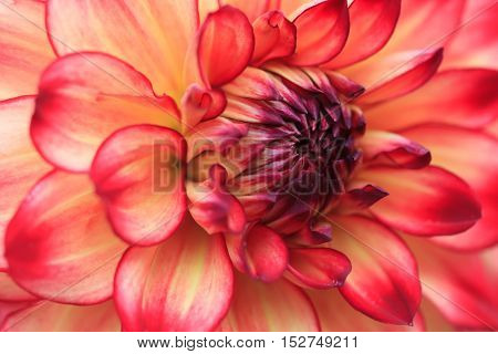 Macro of a yellow red dahlia - cultivar Hapet Darlene