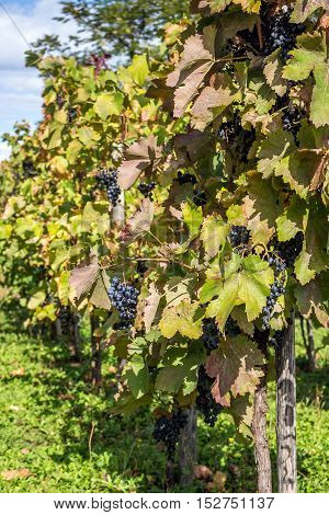 Wine Grapes On The Vine Late In Autumn, For A Late Harvest