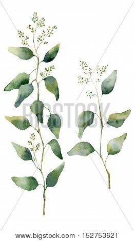Watercolor eucalyptus leaves and branches with flowers. Hand painted flowering eucalyptus. Floral illustration isolated on white background. For design, textile and background