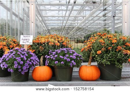 pumpkins and mums on display for sale in a greenhouse