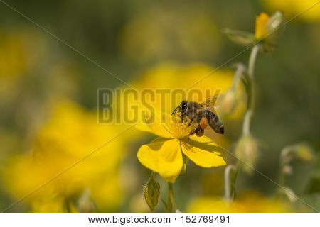 Honey bee pollinating a flower is flying and collecting. Closeup of the animal in its ecosystem environment. The detailed insect is flying on flowers while busy working collecting nectar.