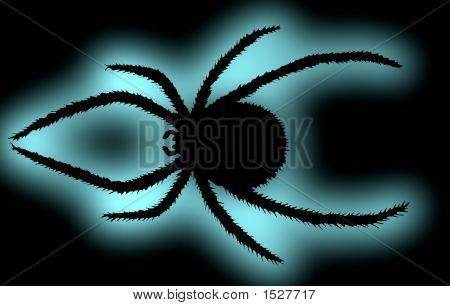 Black Spider. (Latrodectus Mactans Tredecimguttatus)