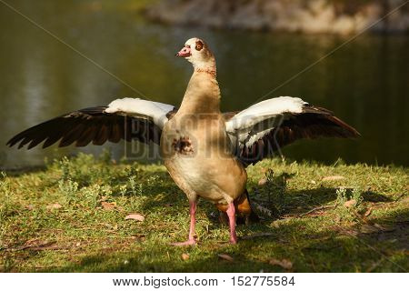 Egyptian goose standing with open wings near water.