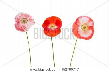 poppies bloom spring flowers on white background