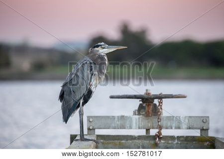 Great Blue Heron (Ardea Herodias) by the lake at sunset