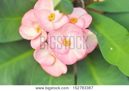 Christ Thorn or Euphorbia milii flower in the garden