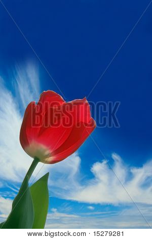 Red tulip against a blue sky.