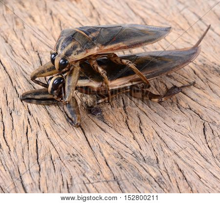 Pimps bug animal on wooden table background.
